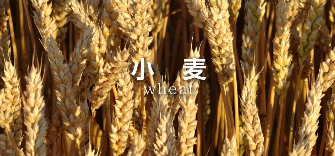 wheat1a